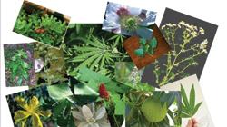 Leucas Aspera Mon छ ट हल क स Chhota Halkusa Medicinal Plants