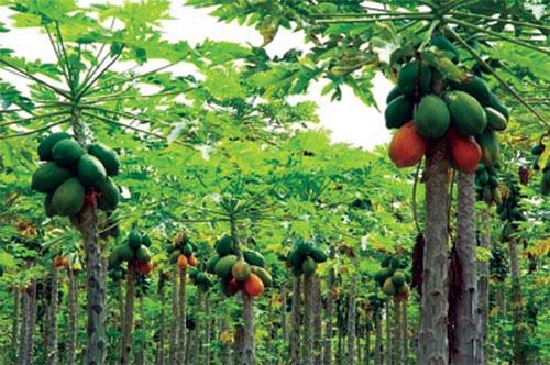 how to eat papaya in hindi