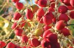 red-arecanut