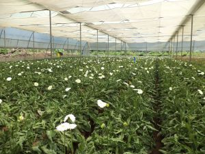 Gerbera cultivation in poly house
