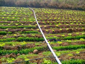 Drip irrigation used at the farm