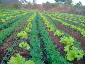 Jaywant Patil finds  intercropping vital for farming