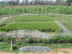 Paddy cum Fish (PCF) farming is ideal for waterlogged, saline and alkaline soil.