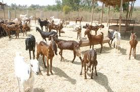 Amma Bhagawan Goat Farm