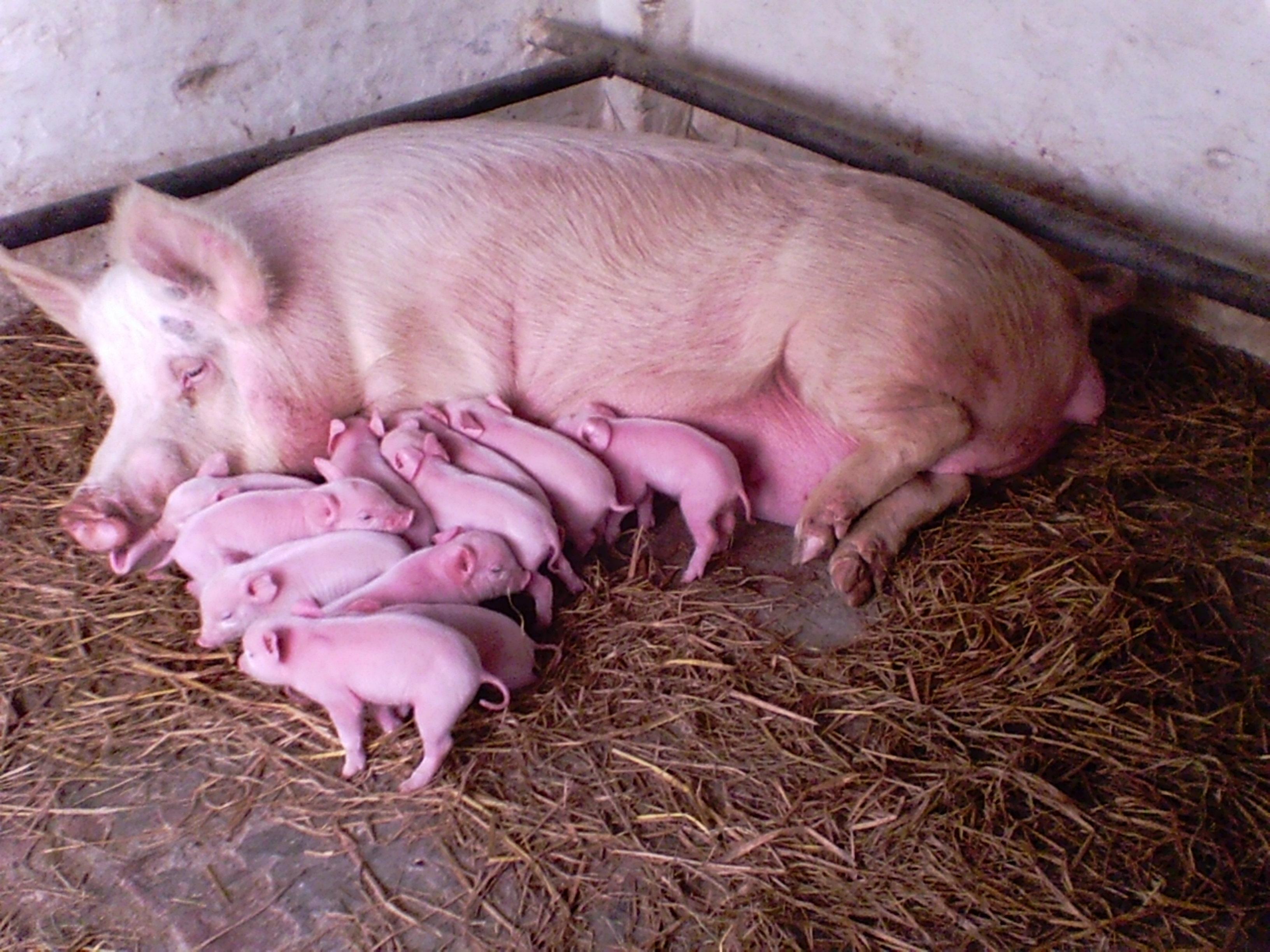 G P K Piggery Profitable Pig Farming