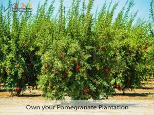 Pomegranate Farm