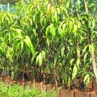 Kesar Mango saplings