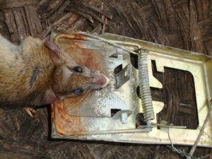 Rat Trap 04 (1)