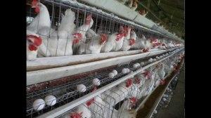 Layer Poultry Farm