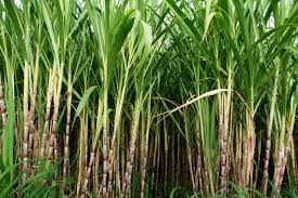 Mr. Bannur Krishnappa - Sugarcane cultivation