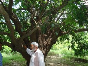 Mr. Haji Kaleem Ullaj Khan with his prized mango tree