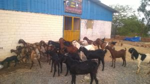 Shivai Goat Farm 01