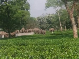 Tenzing's farm have elephants as visitors