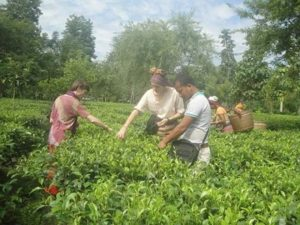 Tenzing's tea farm