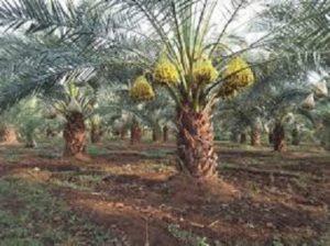 Thangavel Dates Plantation