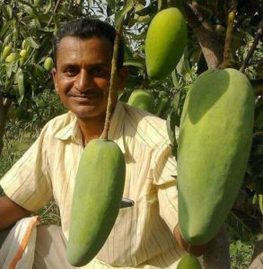 Ravi Madhavrao Marshetwar – transplants 1350 grafts of 51 different mango varieties on 50 year old mango tree