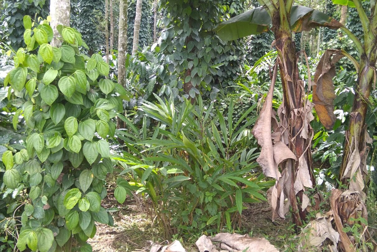 Thimme Gowda Estate – coffee plantation thrives with intercrops