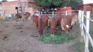 Libra Dairy Farm – rears exclusively Sahiwal breed cows for A2 milk