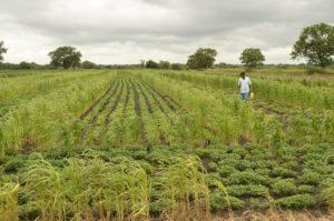 Malleshappa Golappa Biserotti – cultivates high-yielding indigenous groundnut variety