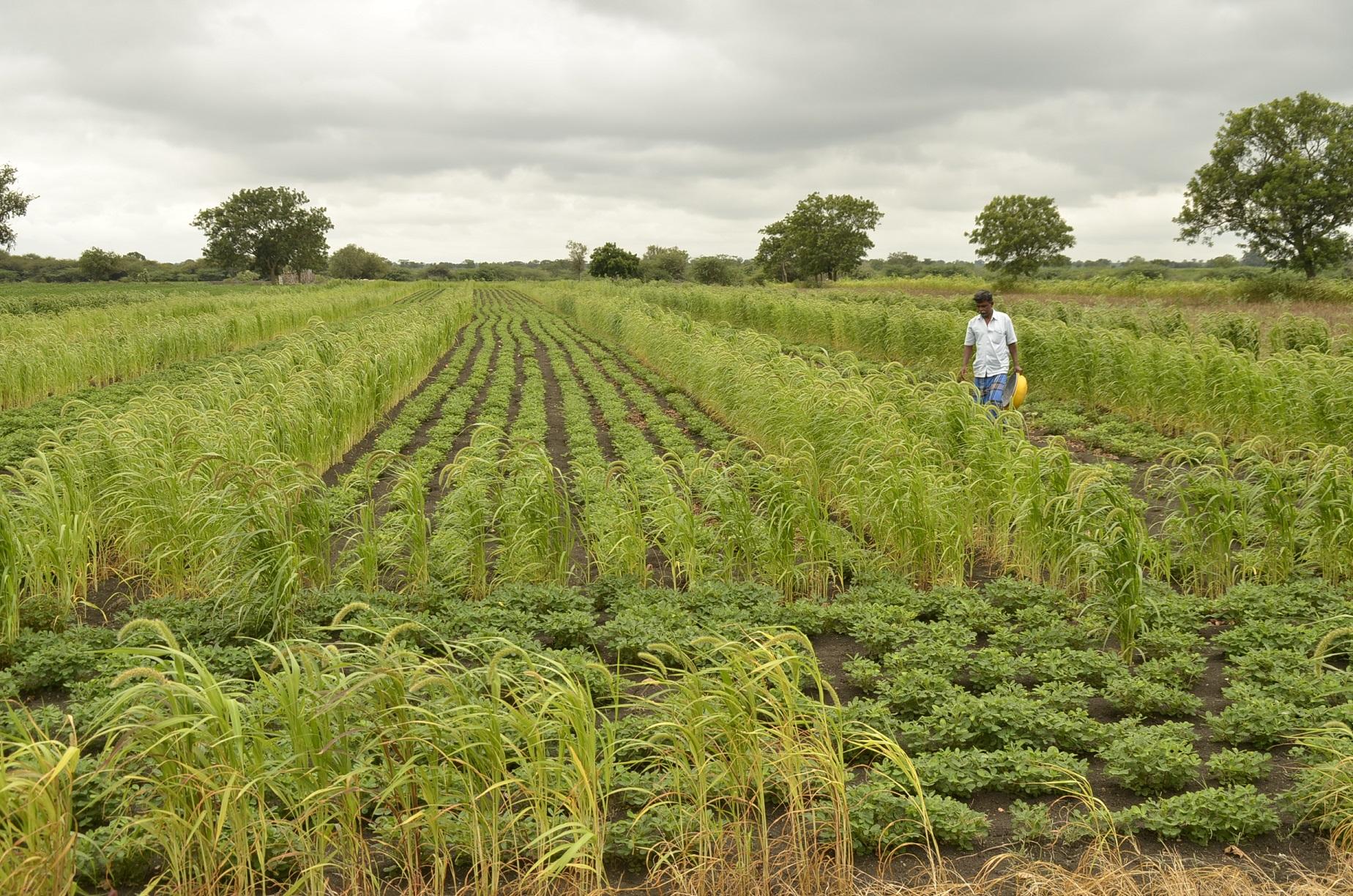 Malleshappa Golappa Biserotti – cultivates high-yielding indigenous