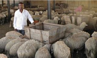 Veera Kempanna – sheep breeding farm
