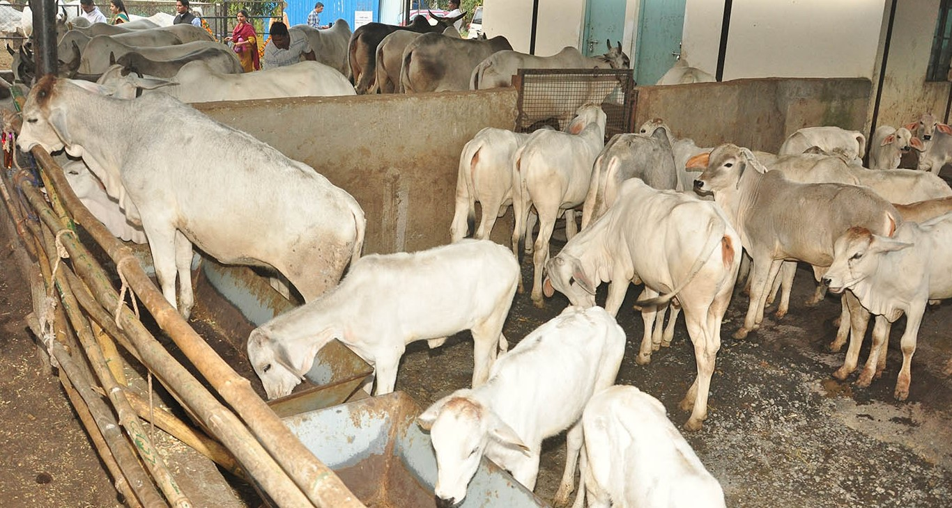 Vrindavan Tharparkar Desi Cow Club –  shares information on rearing and breeding Tharparkar cows