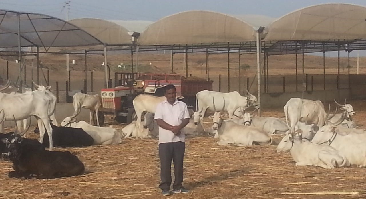 """60 Khillar desi breed cows are the biggest asset of my farm."" – Ashok Ingole, Satara district, Maharashtra."