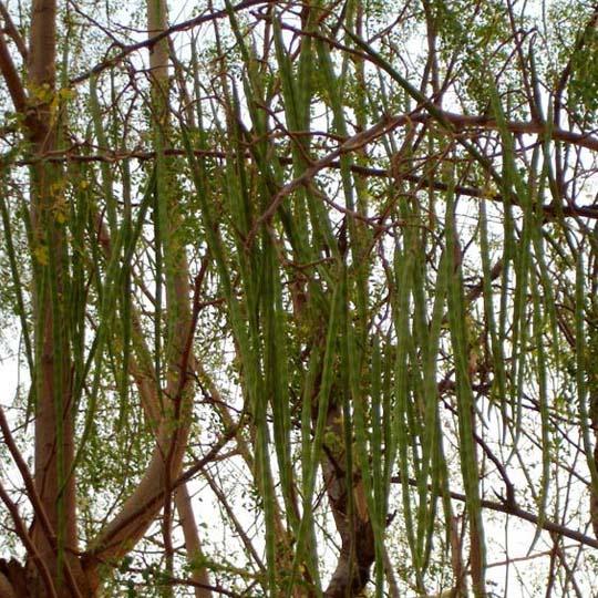 Moringa oleifera leaves and seeds