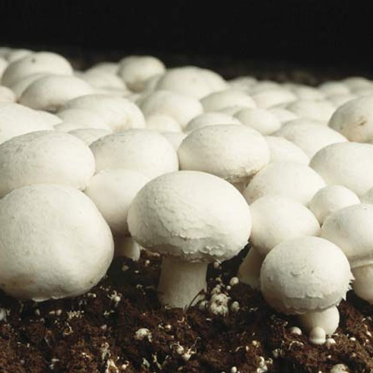 "Search Results for ""mushroom"" – AgricultureInformation com"