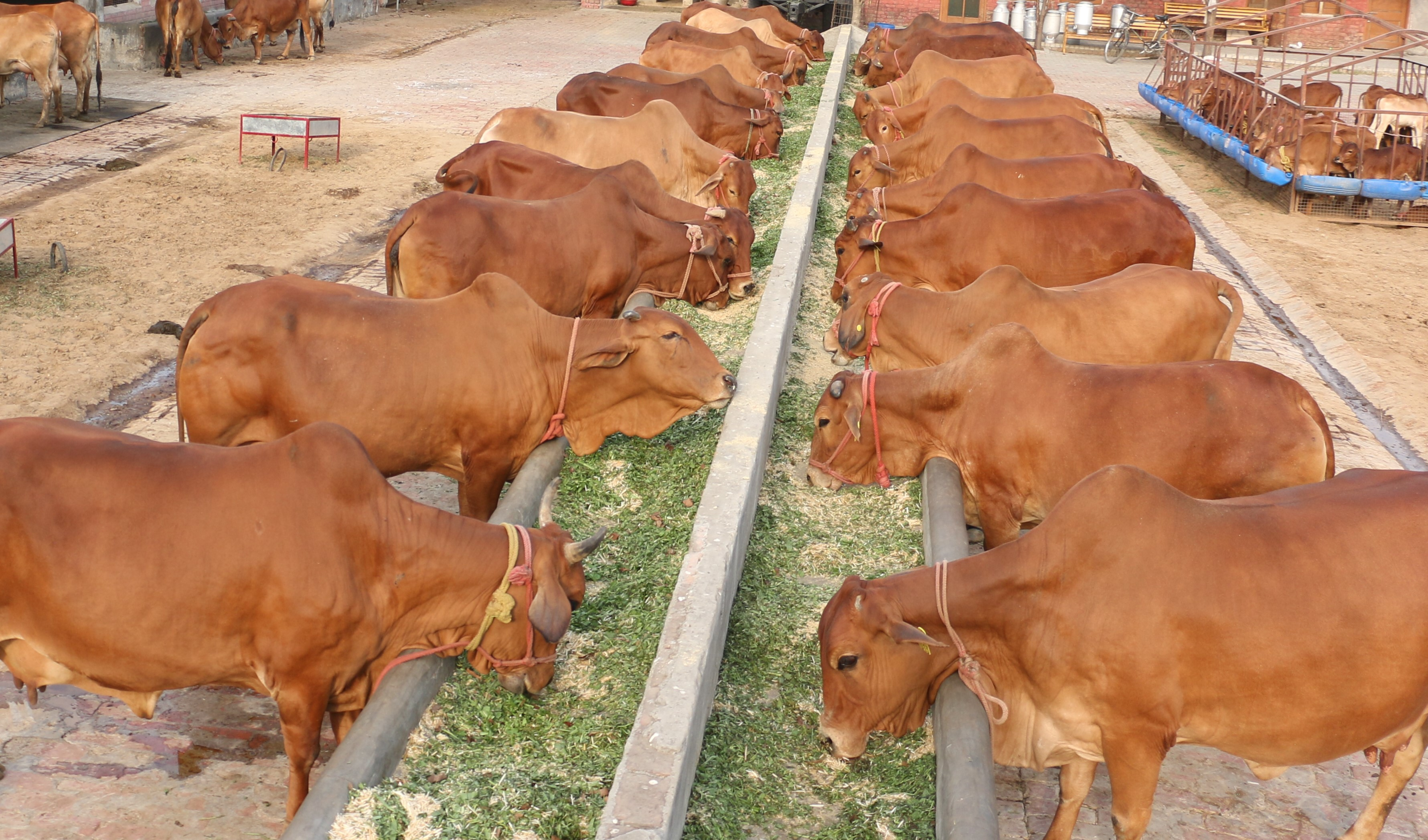 Namdhari Gaushala – preserves and promotes indigenous Sahiwal breed cows and bulls